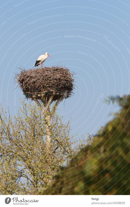 White stork stands in front of a blue sky in his stork nest, in the foreground bushes with green leaves White Stork Stork's Nest Eyrie Bird Animal Colour photo