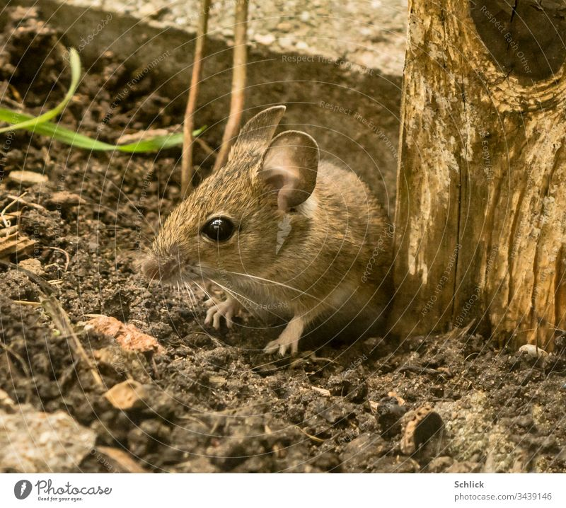 Small wood mouse with big ears Animal Mouse Apodemus sylvaticus Pelt eyes feet Earth Ground Mammal Small mammals youthful Beautiful Sweet