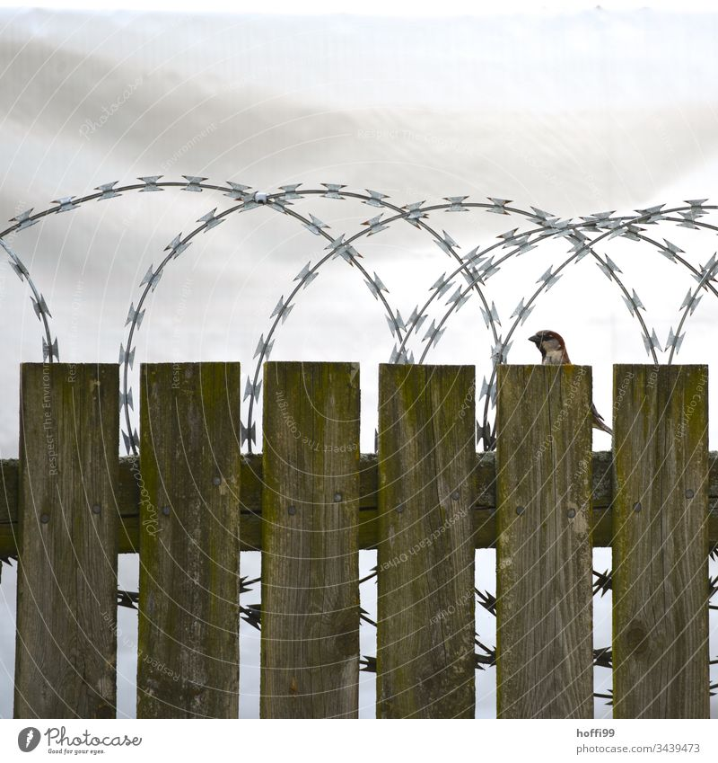 Matter of opinion - bird on wooden fence with barbed wire Fence Bird Barbed wire Barbed wire fence Border Barrier Deserted Wire netting fence Protection
