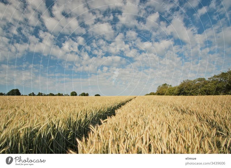 Grain field with lane and many fair weather clouds triticale Agriculture field economy Tire acre Field spike Blade of grass Summer Nature Plant Landscape