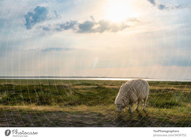 Single white sheep grazing on Sylt island pasture Frisian Germany Schleswig-Holstein animals coast countryside european farm free animals golden hour grass