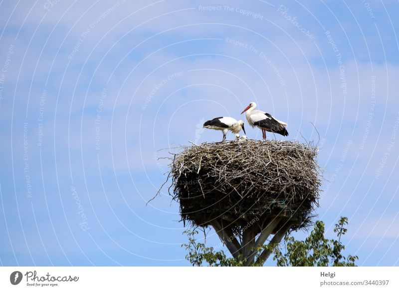 two storks are standing in the stork nest in fine weather and care for their young Stork Stork pair young stork White Stork Nest Stork's Nest Eyrie Bird