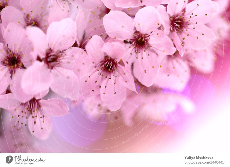 spring cherry flowers .cherry pink flowers close-up on a blurred pink background. Spring tender floral background in pastel colors. soft focus blurry tree