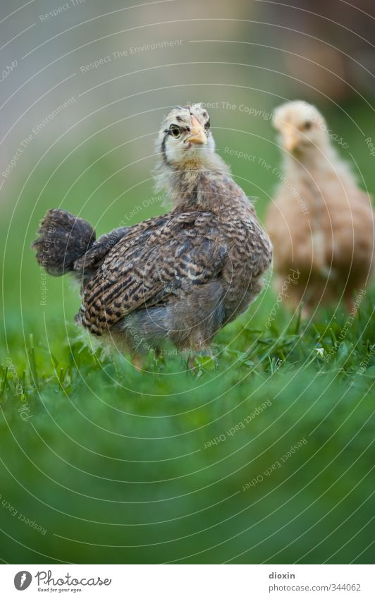 Nature Animal Environment Baby animal Meadow Grass Small Natural Bird Stand Cute Wing Curiosity Agriculture Farm Pet