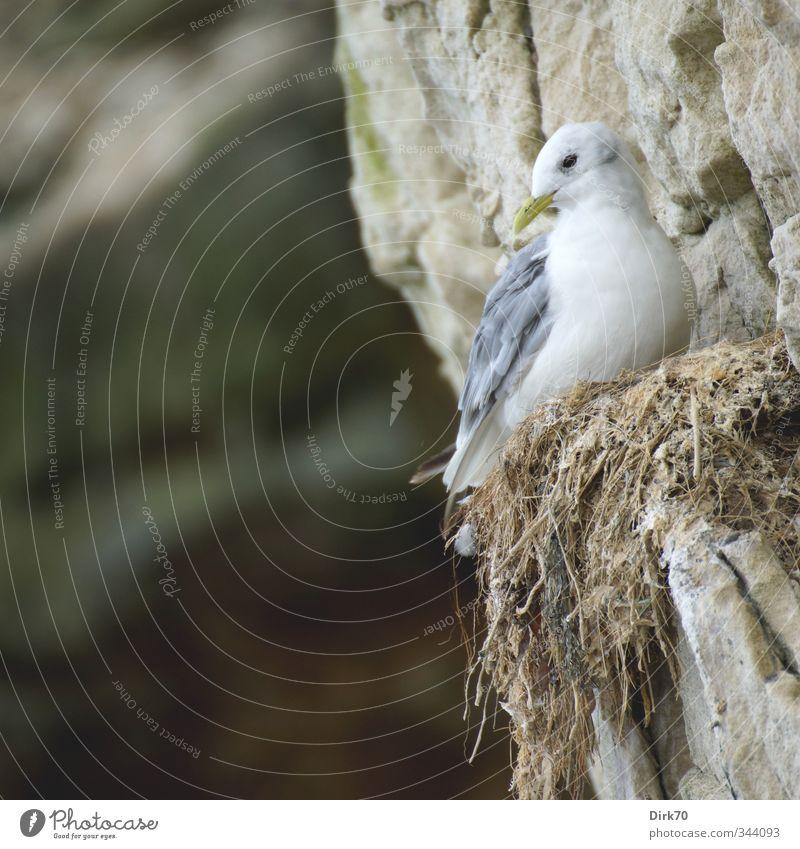 A Life on the Abyss Animal Rock Coast North Sea Cliff Denmark Scandinavia Wild animal Bird Seagull kittiwake Sea bird 1 Nest Stone Looking Living or residing