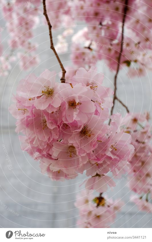 cherry blossoms Cherry blossom cherry blossom tree Cherry tree Colour photo Sky Plant Exterior shot Nature Pink Tree Spring Blossom Blossoming Spring fever