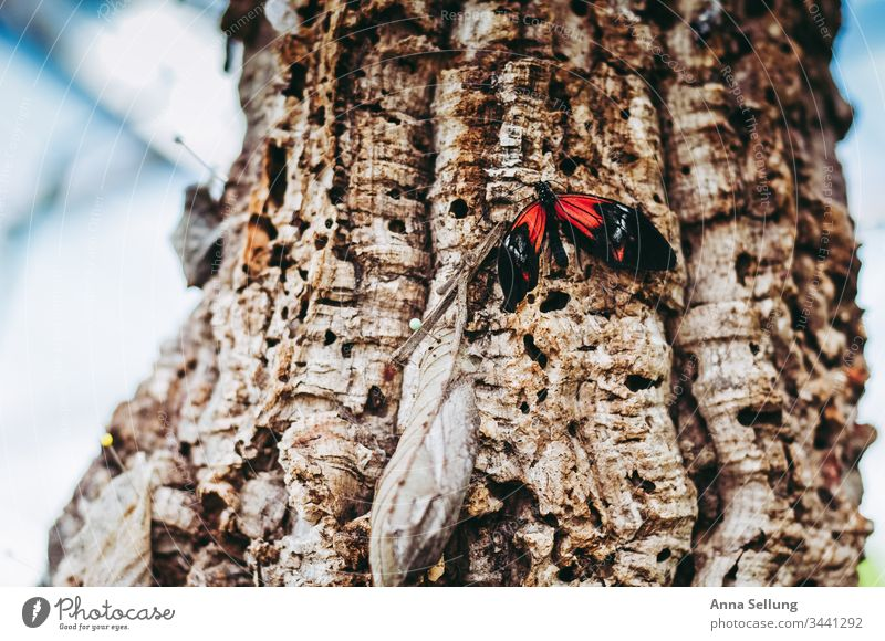 Red butterfly on a tree with strong structures Butterfly Insect Delicate Grand piano Close-up Detail Colour photo Deserted Small Sit Day Natural Nature Easy