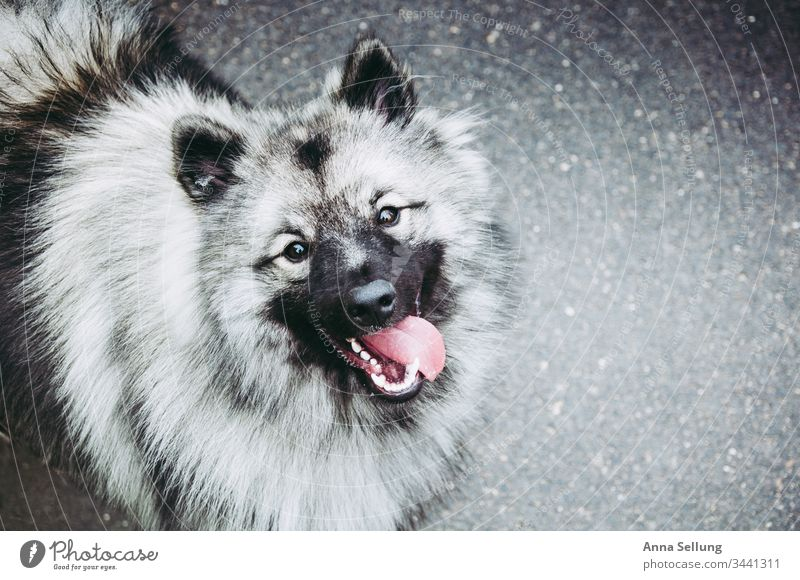 Picture of three colours - Happy Wolfsspitz Black White Gray Hairy Exterior shot Animal Deserted Colour photo Close-up Dog Pelt Animal face Animal portrait