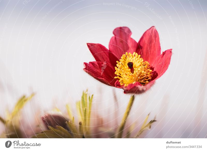red/yellow spring flower (kitchen bell, cowbell) blossoms flowers Ground anemone Spring Blossom Flower Plant Close-up Nature Garden Exterior shot Blossoming
