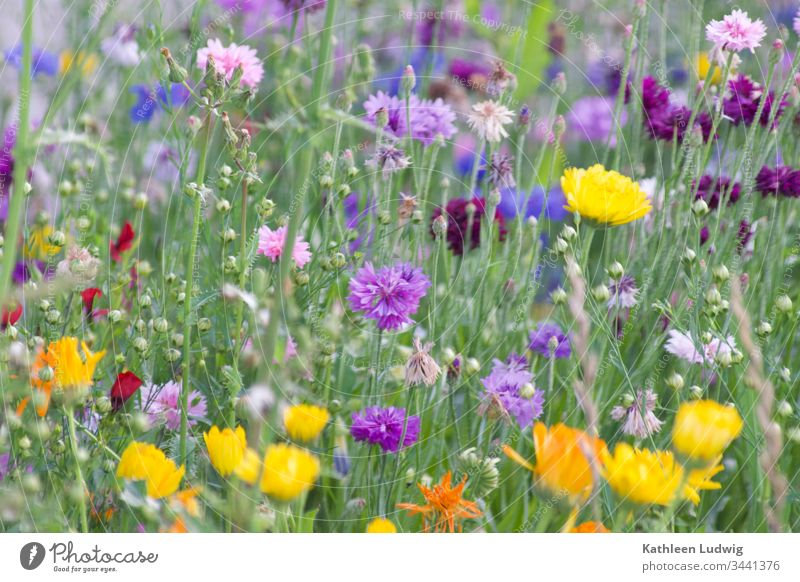 flower meadow Summer flowers cornflowers meadow herbs Yellow purple Purple Orange colourful Blossom plants Colour photo Natural Nature Dandelion buttercups