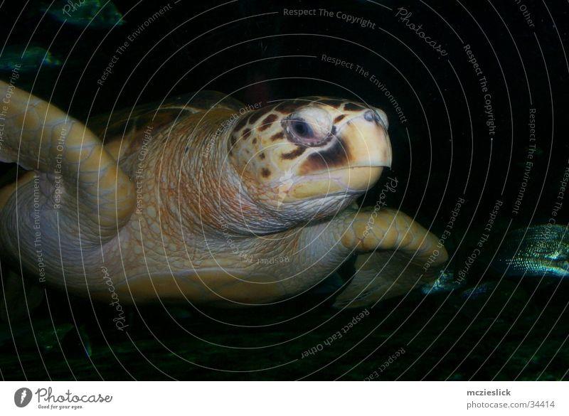 Water Animal Aquarium Exotic Water wings Slowly Turtle Armor-plated Turles