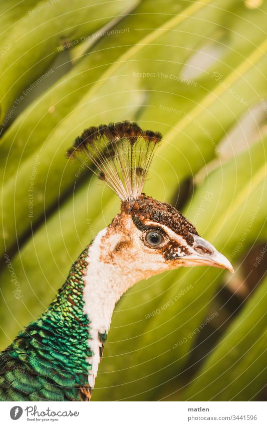 Peacock head in front of palm tree Animal portrait Bird Colour photo Exterior shot pretty Deserted Day Animal face Multicoloured Wild animal Looking