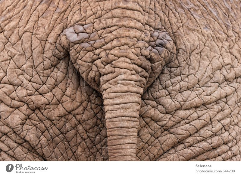 i like big butts and i can not lie Vacation & Travel Safari Animal Wild animal 1 Near Natural Elephant Elephant skin Hide Wrinkles Tails South Africa