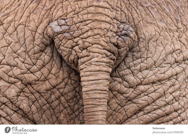 Vacation & Travel Animal Natural Wild animal Hide Wrinkle Near Wrinkles Tails Elephant Safari South Africa Elephant skin