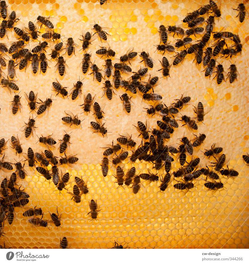 Animal Yellow Brown Work and employment Orange Gold Bee Farm animal Flock Honey-comb Honeycomb Beehive Honey bee Honeycomb pattern