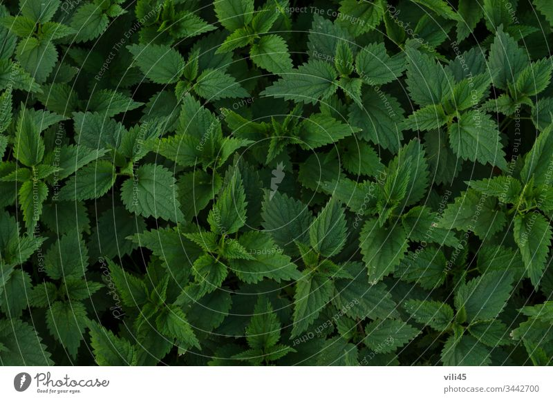 Background of fresh green nettle or urtica leaves in garden background detail development eating food growth healthy herb leaf macro natural nature plant