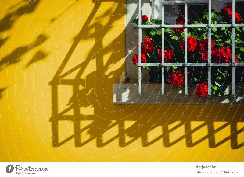 Flowers with red flowers, stand behind bars on a windowsill. The shadow from the bars can be seen on a yellow house wall. Shadow Light and shadow Yellow