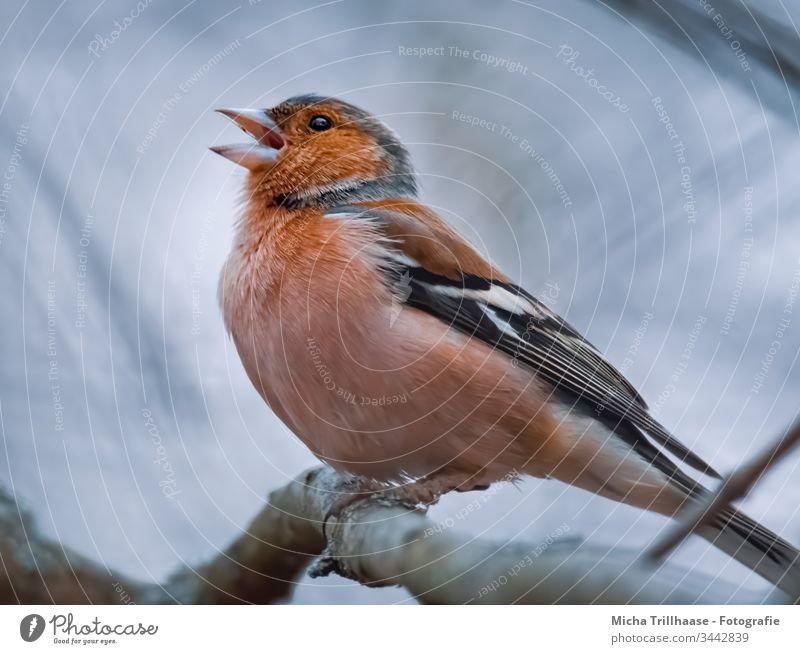 Singing Finch Chaffinch Fringilla coelebs Head Beak Animal face Grand piano Claw Eyes Bird Wild animal Feather Twigs and branches Colour photo Exterior shot