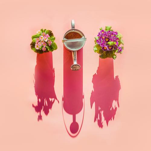 Watering can and flowers pots in sunlight on pink background. Top view. Gardening concept. Creative layout watering can top view gardening creative design