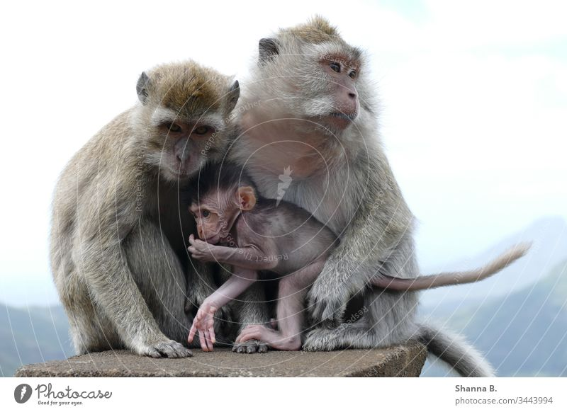 Ape family Mauritius monkey Monkeys Baby monkey Animal animals Nature Colour photo Mammal Exterior shot Cute Portrait photograph Animal portrait animal world