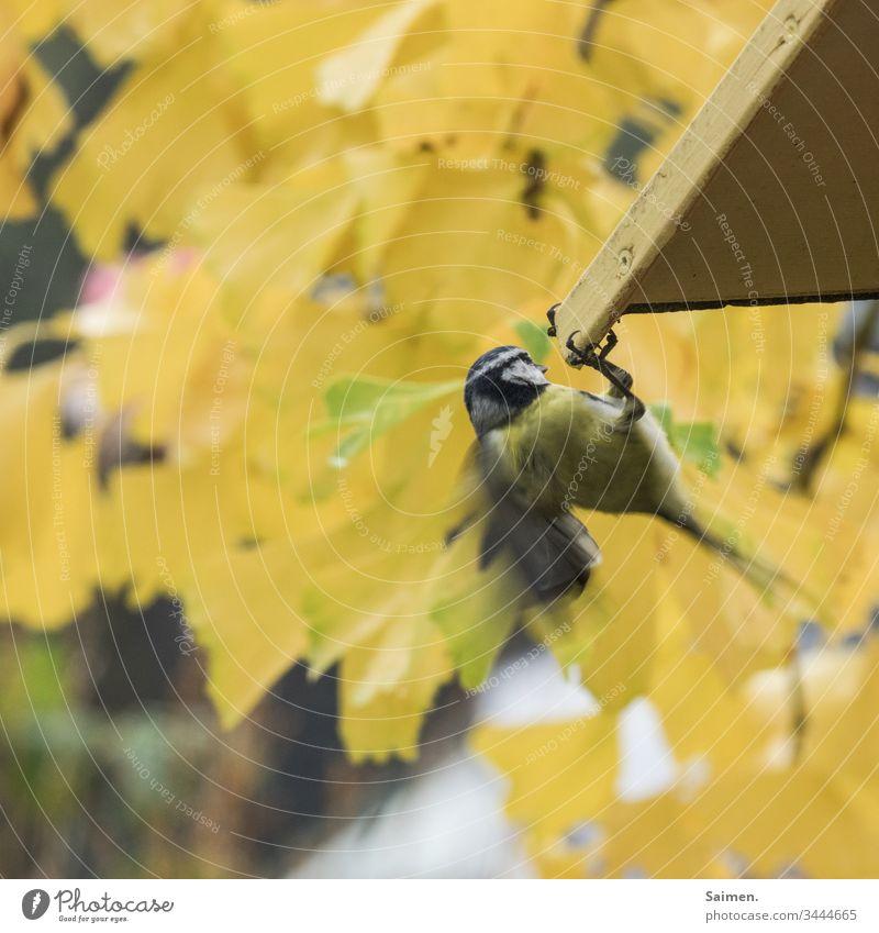 Maise Vogel Vögel Vogelwelt Federn Natur Tier Garten Schwingen Lebewesen Flug Vogelhaus Colour photo gelb