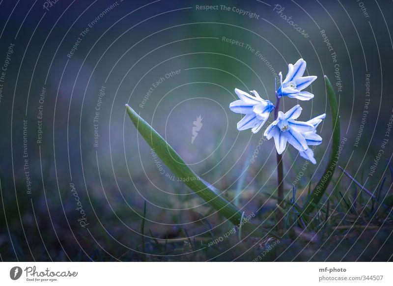 Pushkin line Nature Plant Spring Flower Garden Meadow Blue Green Colour photo Deserted