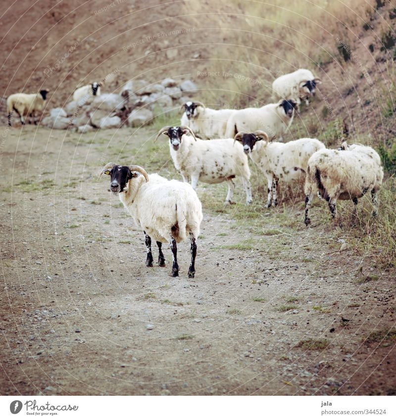 Nature Plant Landscape Animal Natural Group of animals Hill Sheep Farm animal