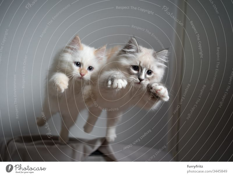 Two siberian kittens jumping through the air at the same time Cat no people Cute Kitten feline Fluffy Pelt pets purebred cat Longhaired cat indoors White