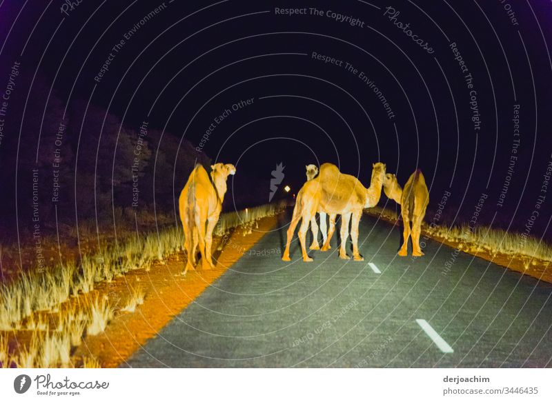 Night walk of the camels. Four of them are standing on the road, not letting any car through. Illuminated by the headlights. Trip Camels Vacation & Travel