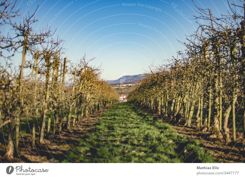 Fruit tree plantation Nature Plant Colour photo Green Sky Exterior shot Beautiful weather Tree Fruit trees Blue Subdued colour Apple tree Spring fever