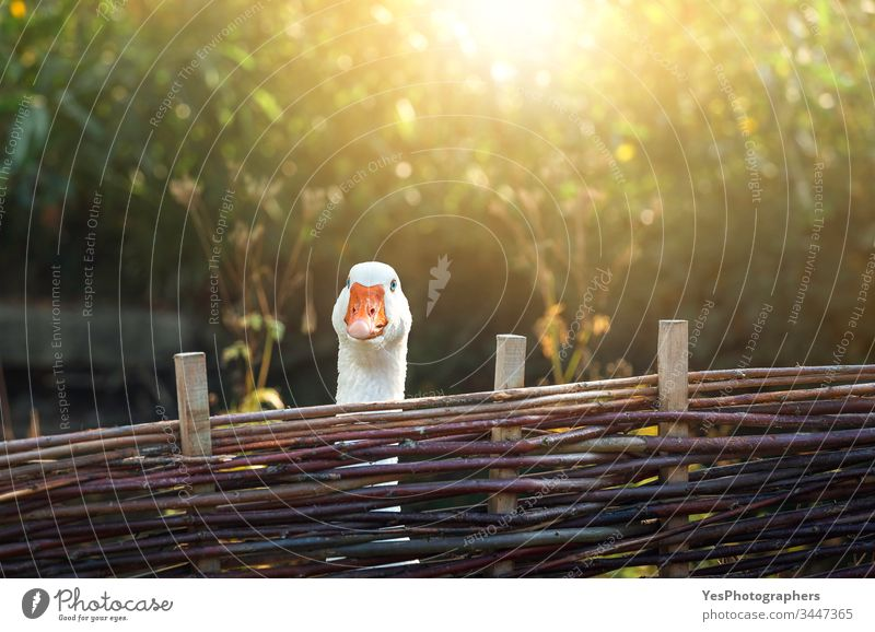 One goose behind farm fence on a sunny day animals birds colorful countryside curiosity curious cute domestic animals farmland feather fowl funny geese nature