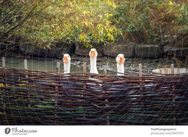 Three funny geese behind rustic fence animals birds goose farm poultry team trio triplet unity sentinel spring summer wattled fence sunny day partners cute