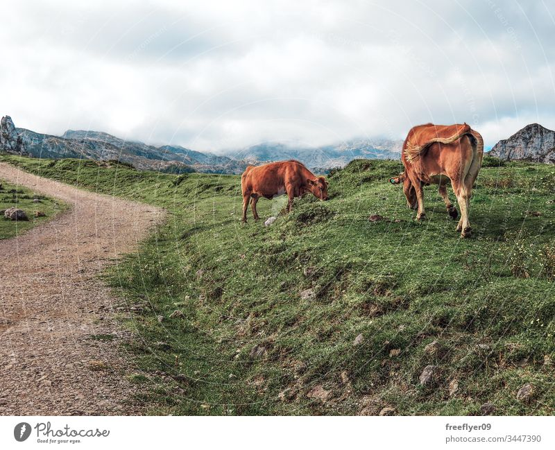 Dirt path in Picos de Europa in Asturias, Spain, with some cows on the side animal cantabrian cattle countryside day dirt environment europa european farm