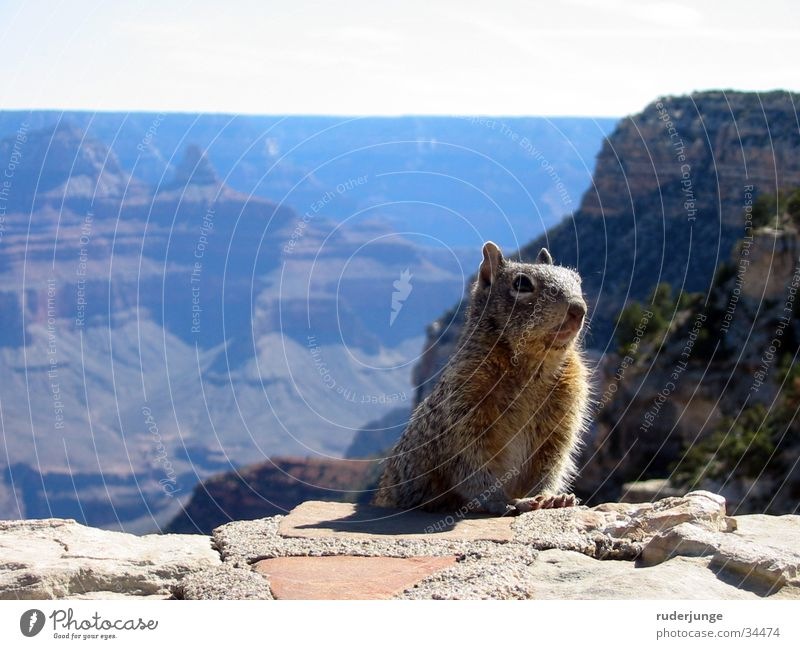 Grand Canyon Arizona Squirrel Foreground Background picture Blur Animal National Park Ground squirrel Hiking Trip Brown Pelt Summer USA Far-off places Nature