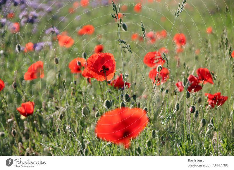 poppy day Poppy Corn poppy Flower meadow Meadow spring Summer bleed flowers green Plant Poppy field Landscape Nature Idyll flora Environment Garden Field