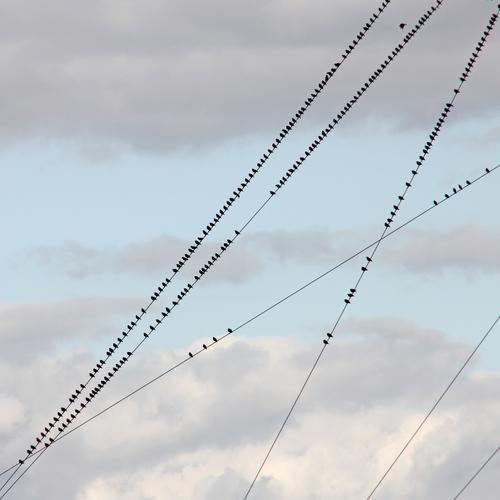 many starlings sit on sloping power lines in front of cloudy skies birds Stare bird migration Migratory bird Autumn Break Animal Flock Exterior shot Sky Nature