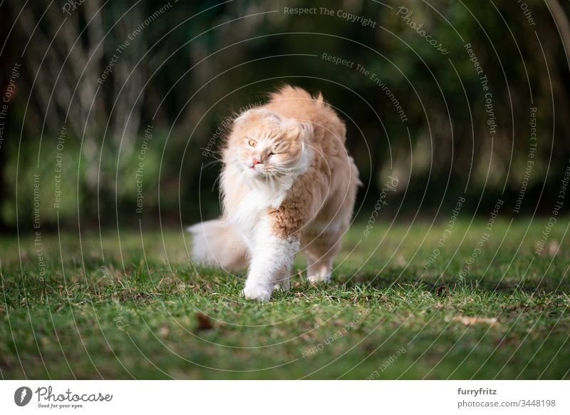 Maine Coon cat shakes in the wind Cat pets feline Pelt Fluffy Longhaired cat Fawn Beige Cream Tabby Ginger cat White One animal Outdoors purebred cat windy Lawn
