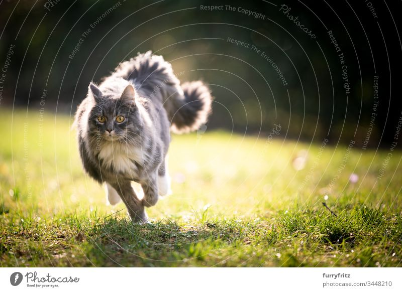 Maine Coon cat with fluffy tail running across the lawn in sunlight Cat pets feline Pelt Fluffy Longhaired cat blue blotched White One animal Outdoors