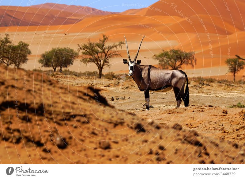 Oryx antelope in the desert Daylight Colour photo Summer Exterior shot Nature flora and fauna Deserted Close-up Animal looks into the camera