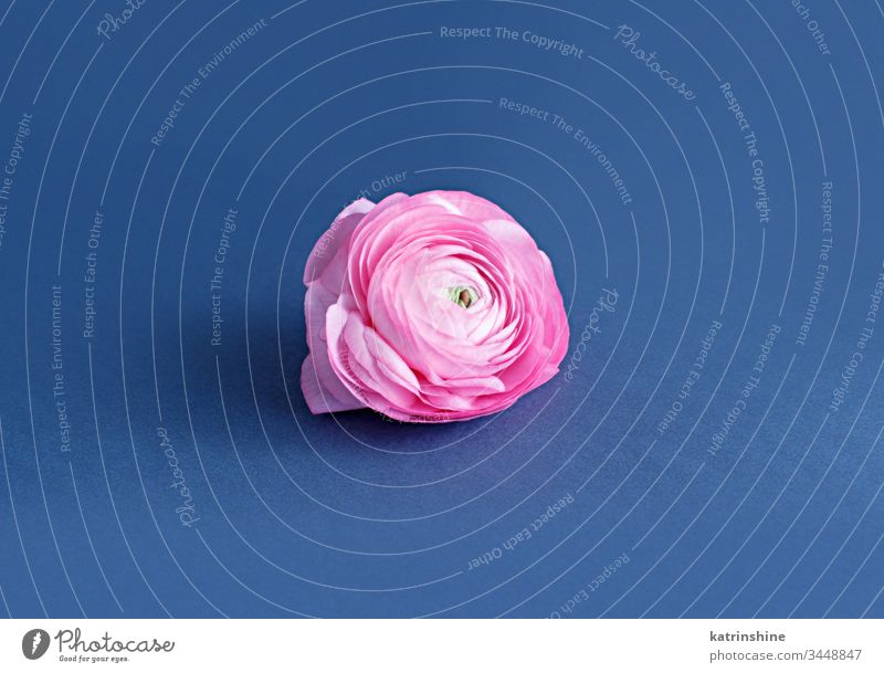 Pink ranunculus flower on a blue background pink spring romantic light pink classic blue composition roses close up concept creative day decoration design
