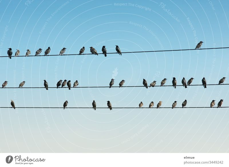 numerous starlings sit on three lines Starling Spreen Sturnus vulgaris Purple Glittering plumage songbird Many Plain dress Passerine Bird Sky
