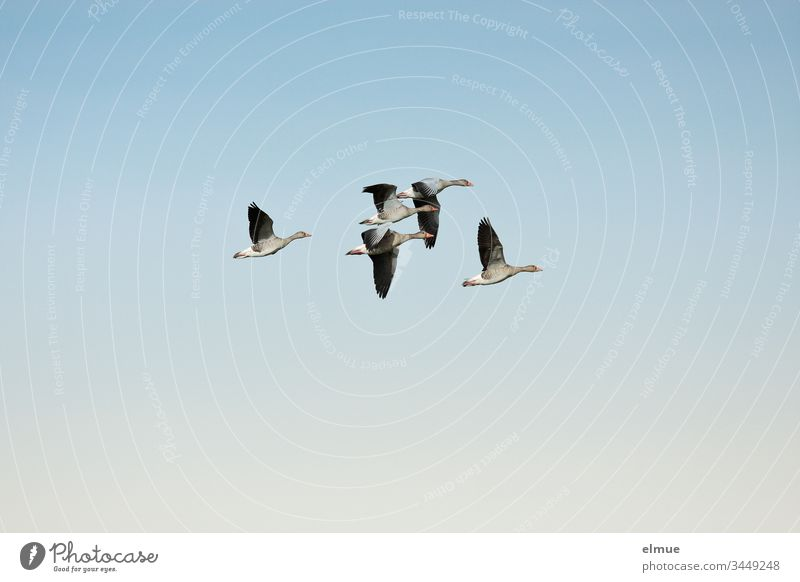 Five grey geese in flight Gray lag goose field goose Duck birds waterfowls Goose anatidae goose birds Anseriformes Goose step flight formation Flying