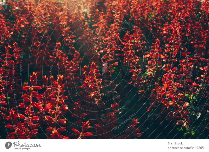 Red flowers on center Millennium on Obilic's with afternoon soft light on Belgrade, Serbia. belgrade city image wreath serbia summer old style travel vintage