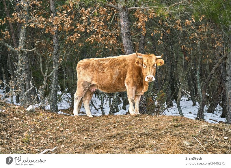 lonely cow on woods in Evros Greece field angus cattle agriculture grass grazing blue pasture rural meadow sky nature canterbury summer cows landscape animal