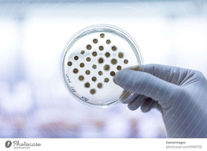 Scientist growing bacteria in petri dishes on agar gel as a part of scientific experiment. laboratory biochemistry pathogen medicine bacteriology virus medical