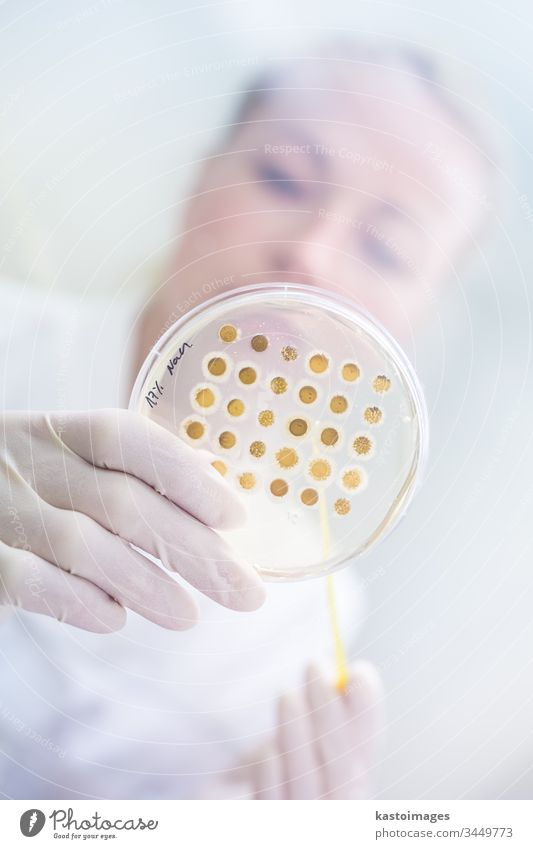 Scientist growing bacteria in petri dishes on agar gel as a part of scientific experiment. laboratory science research biotechnology corona virus COVID-19 cvid