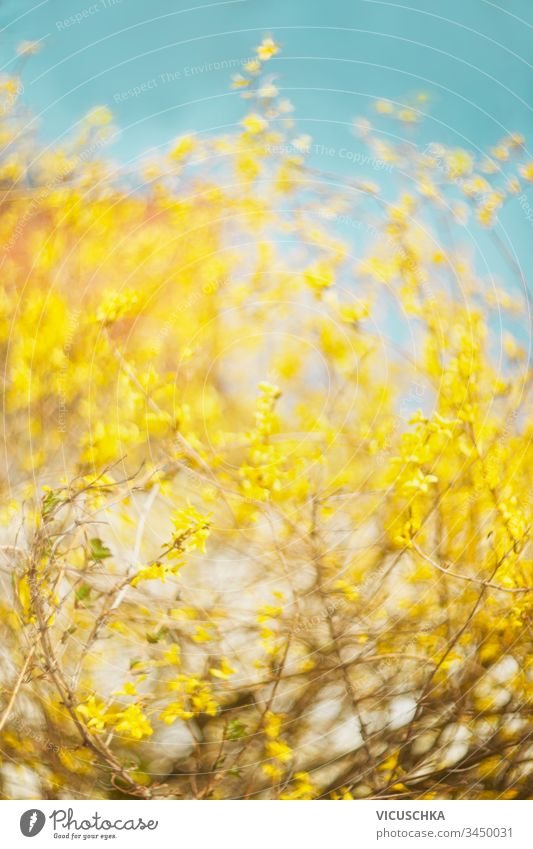 Beautiful yellow Forsythia blooming at blue sky background. Springtime day. Spring nature. Outdoor beautiful forsythia springtime outdoor ornamental