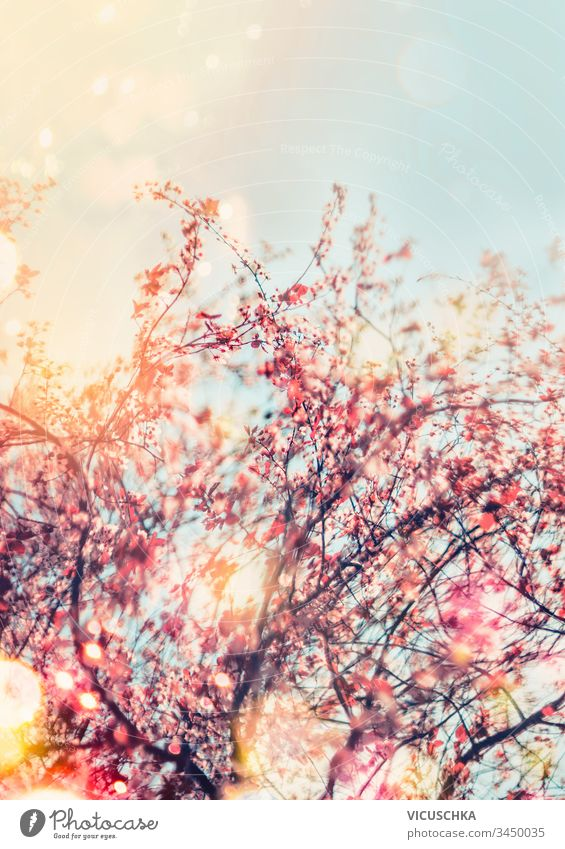 Spring nature background with cherry blossom in outdoor. Sunny spring day. Springtime concept pink sunny springtime season outdoors garden branch scene sky