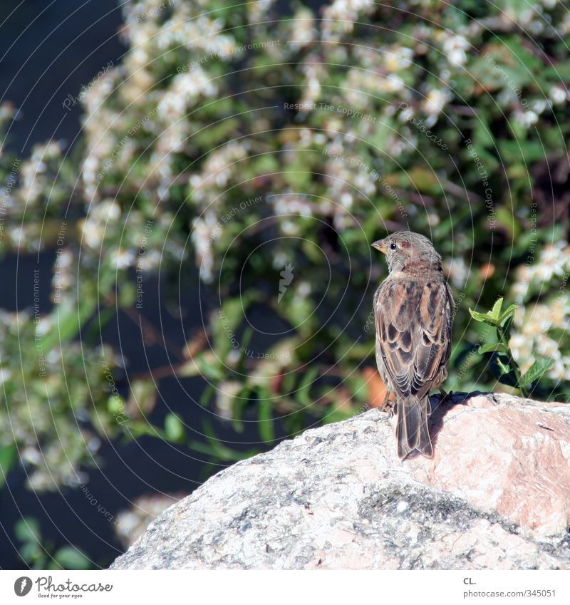 new york sparrow Environment Nature Landscape Spring Summer Beautiful weather Garden Park Animal Bird Animal face Wing Sparrow 1 Flying Sit Idyll Ease Stone