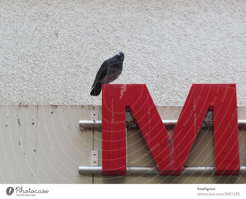 City dove sitting on the letter M of a neon sign Pigeon Neon sign Town Letters (alphabet) Typography Signs and labeling Characters Latin alphabet Communicate